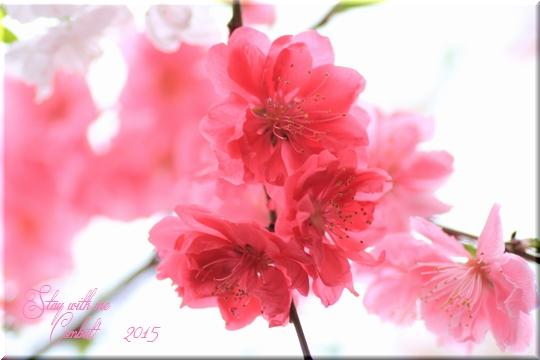 花桃2015-100-1.jpg